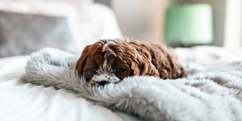 Little Brown Dog With Curly Hair Rests on a Fluffy Blanket