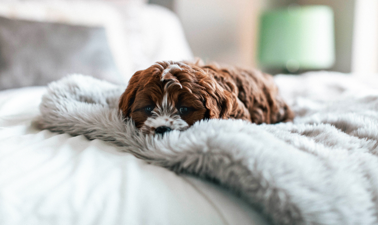 Brown-Eyed Dog Lays on Fluffy Blanket on a Hollingsworth Apartment Bed